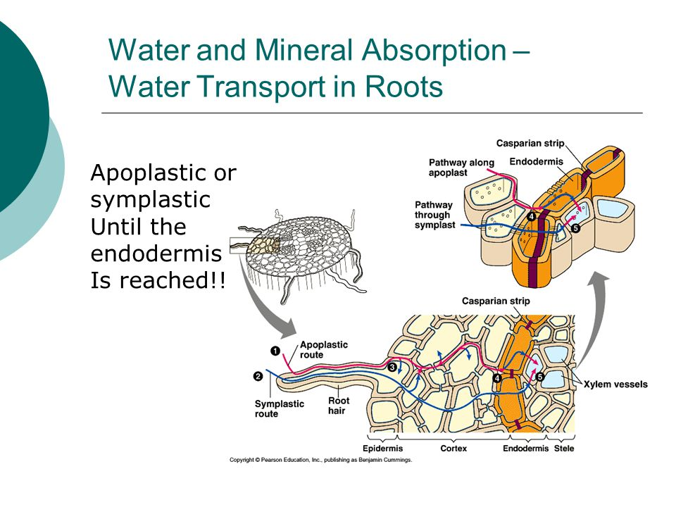 Water and Mineral Absorption – Water Transport in Roots