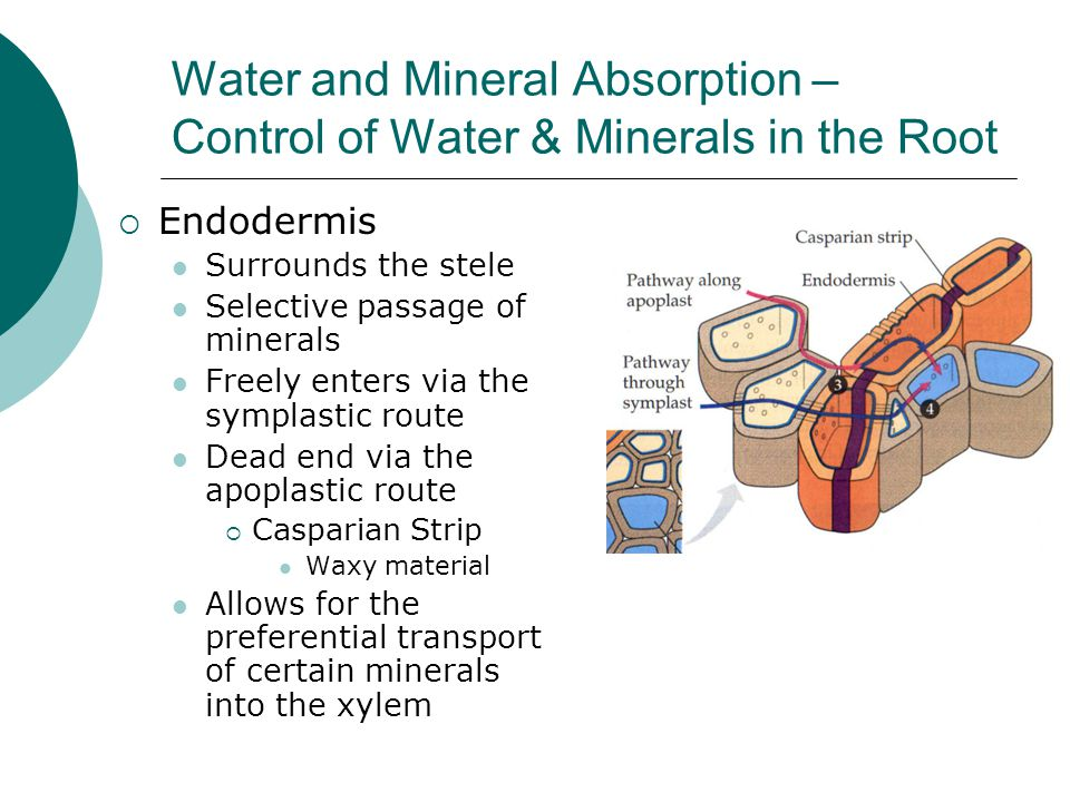 Water and Mineral Absorption – Control of Water & Minerals in the Root