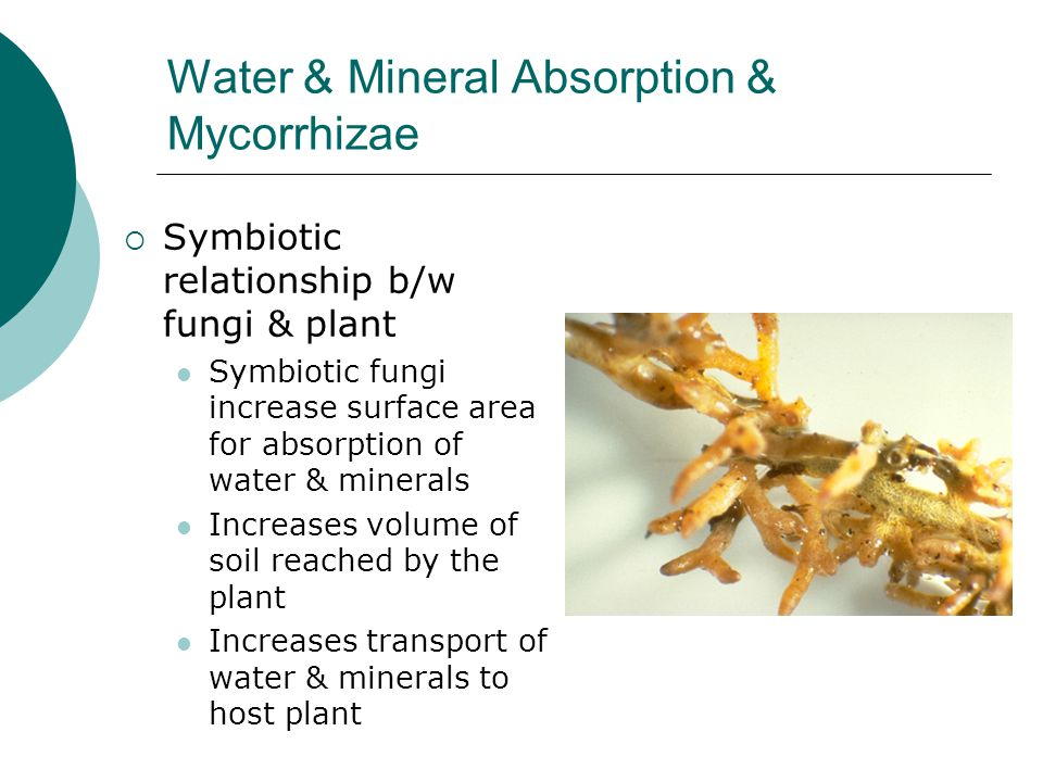Water & Mineral Absorption & Mycorrhizae