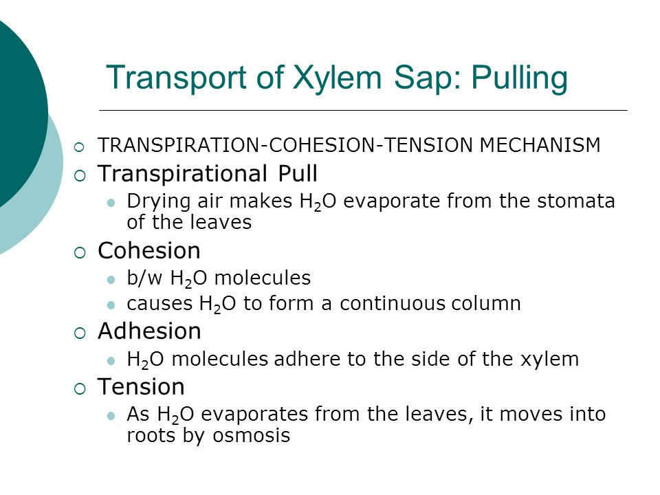 Transport of Xylem Sap: Pulling