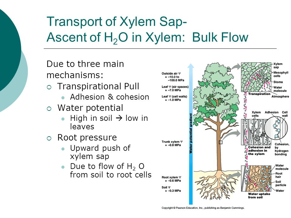 Transport of Xylem Sap- Ascent of H2O in Xylem: Bulk Flow