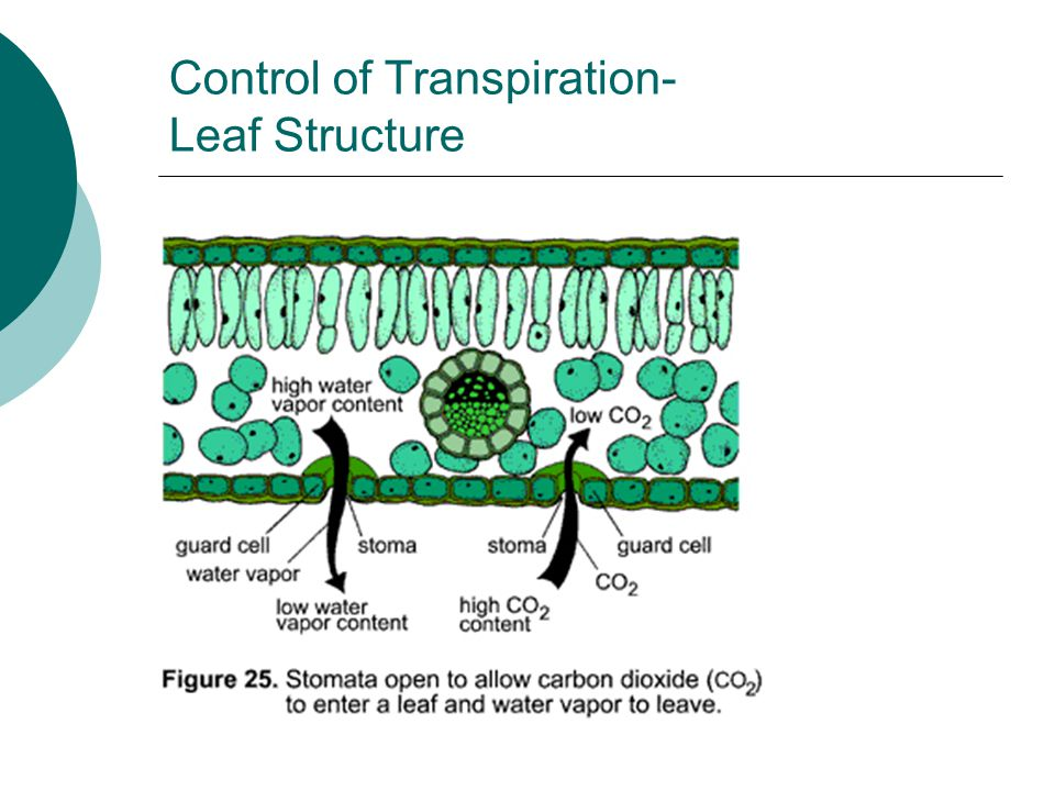 Control of Transpiration- Leaf Structure