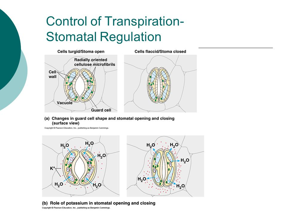 Control of Transpiration- Stomatal Regulation