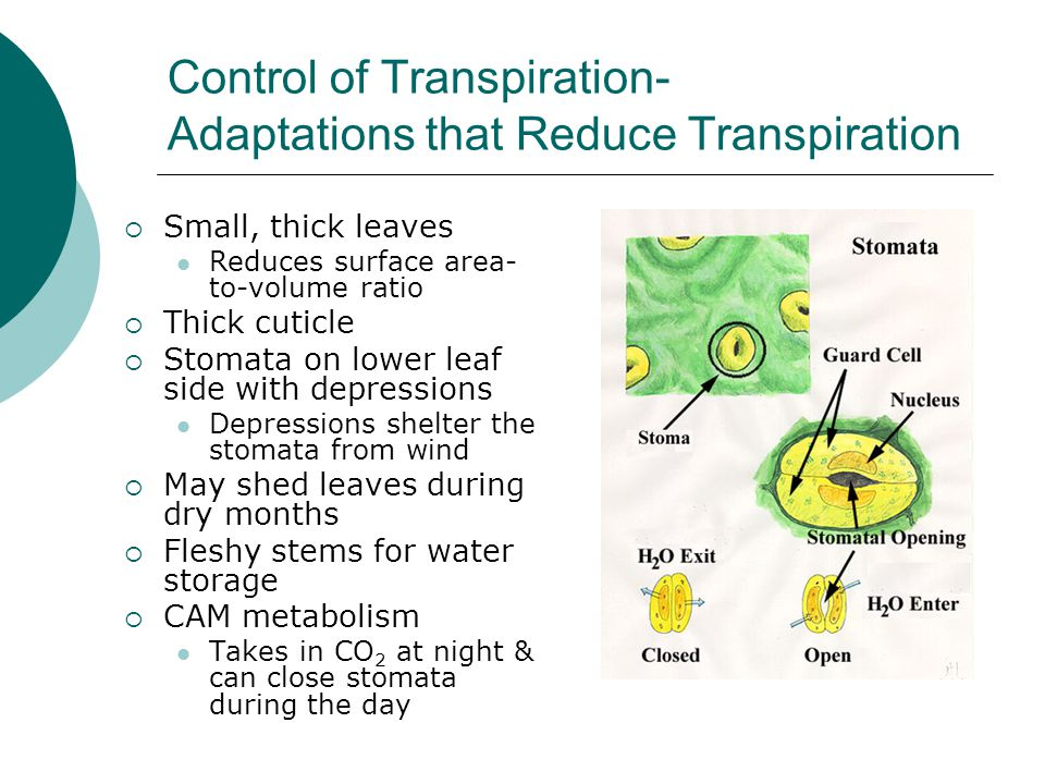 Control of Transpiration- Adaptations that Reduce Transpiration