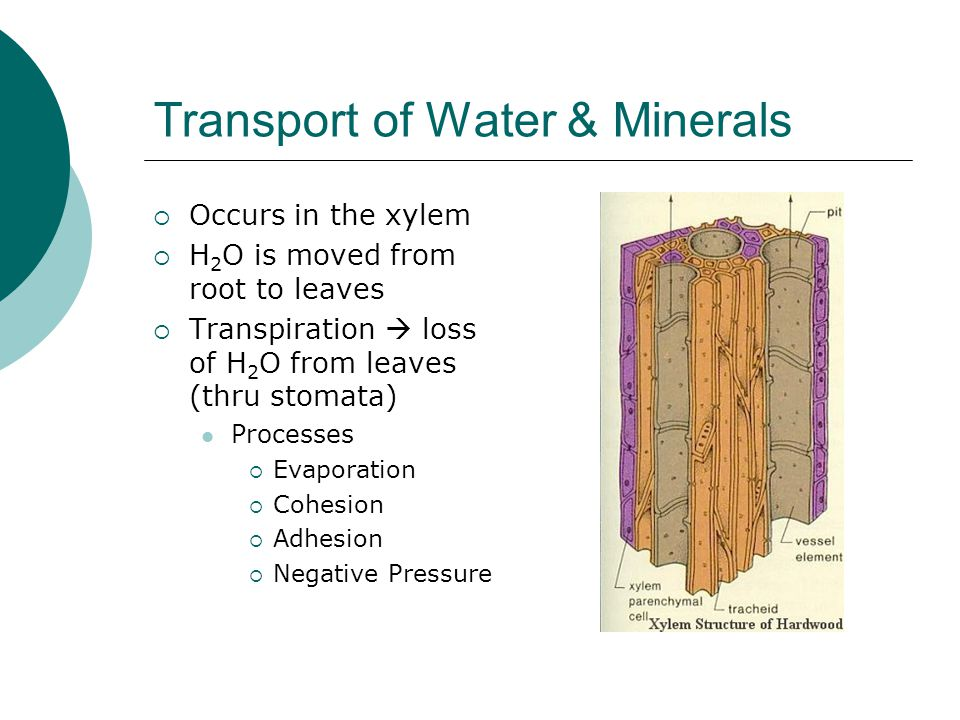 Transport of Water & Minerals
