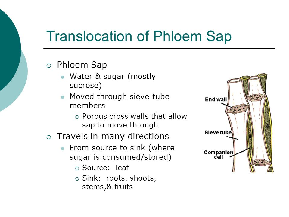 Translocation of Phloem Sap