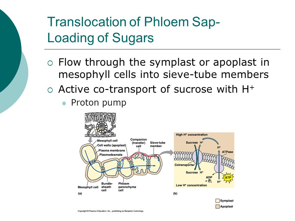 Translocation of Phloem Sap- Loading of Sugars