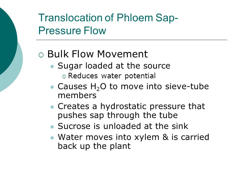 Translocation of Phloem Sap- Pressure Flow