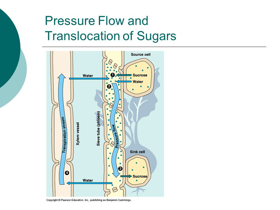Pressure Flow and Translocation of Sugars