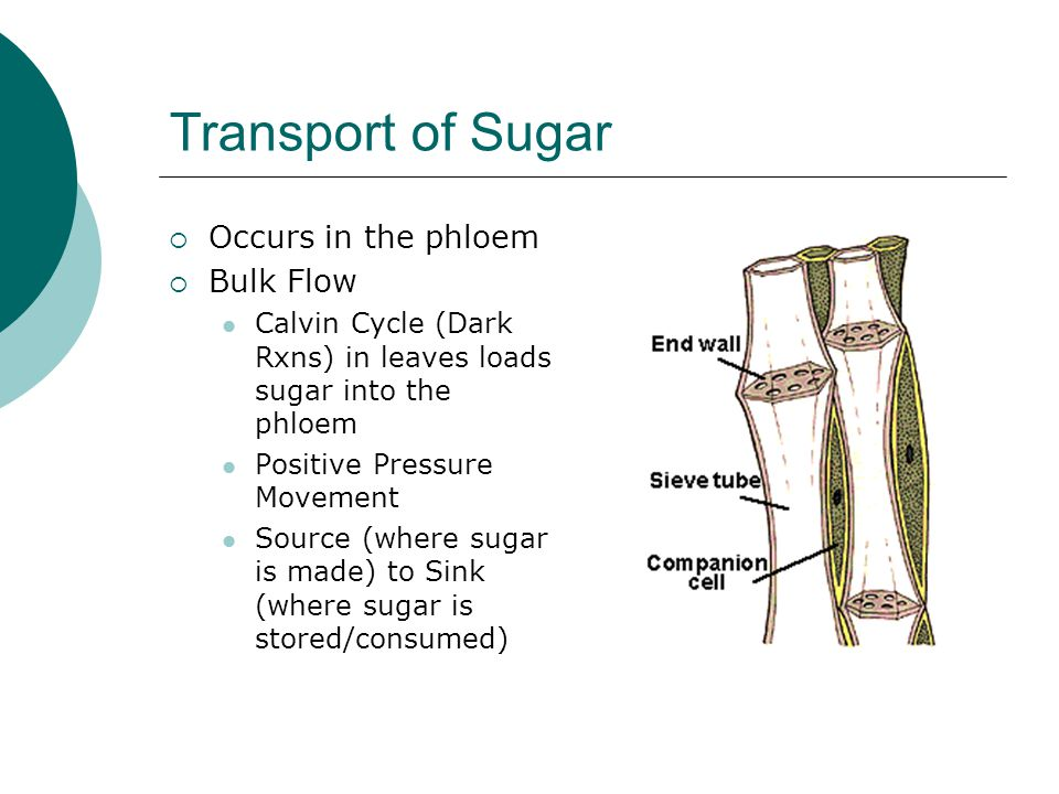 Transport of Sugar Occurs in the phloem Bulk Flow