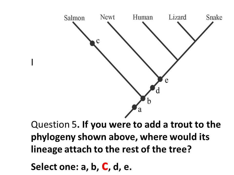 I Question 5. If you were to add a trout to the phylogeny shown above, where would its lineage attach to the rest of the tree