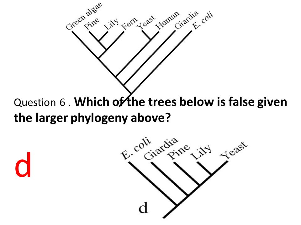 Question 6 . Which of the trees below is false given the larger phylogeny above