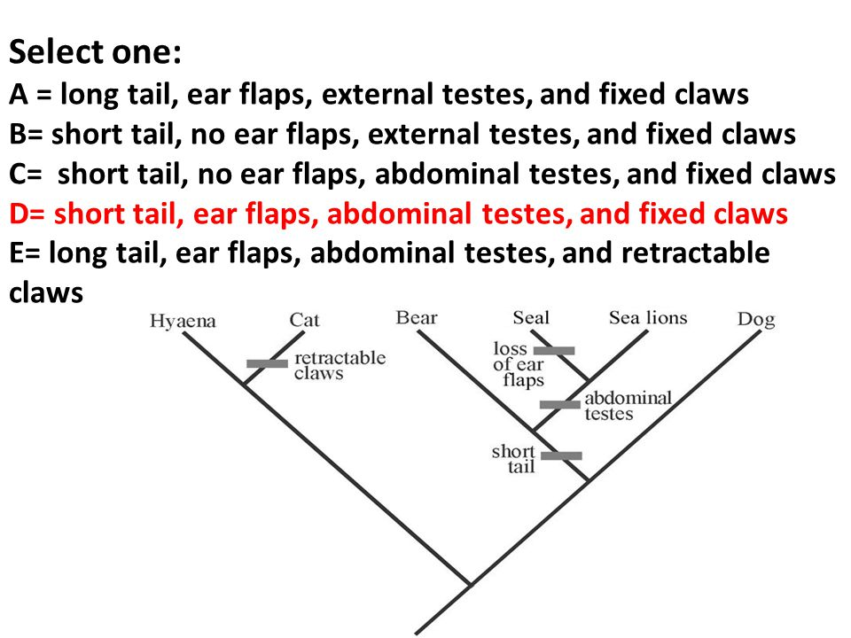 Select one: A = long tail, ear flaps, external testes, and fixed claws B= short tail, no ear flaps, external testes, and fixed claws C= short tail, no ear flaps, abdominal testes, and fixed claws D= short tail, ear flaps, abdominal testes, and fixed claws E= long tail, ear flaps, abdominal testes, and retractable claws
