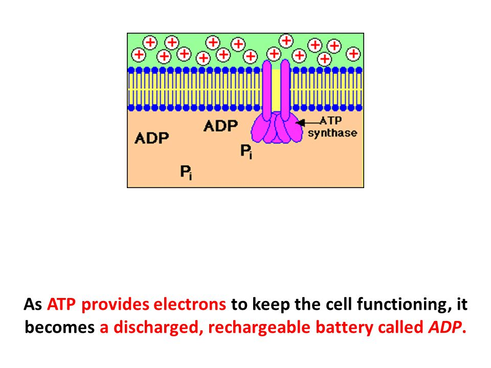 As ATP provides electrons to keep the cell functioning, it becomes a discharged, rechargeable battery called ADP.