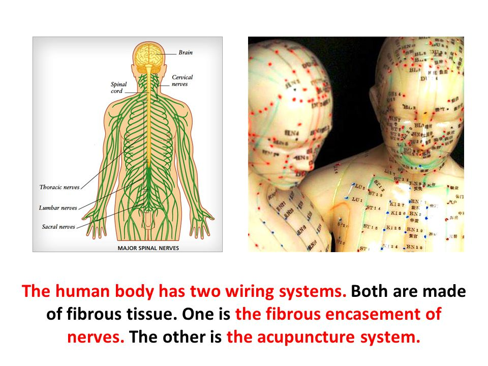 The human body has two wiring systems. Both are made of fibrous tissue