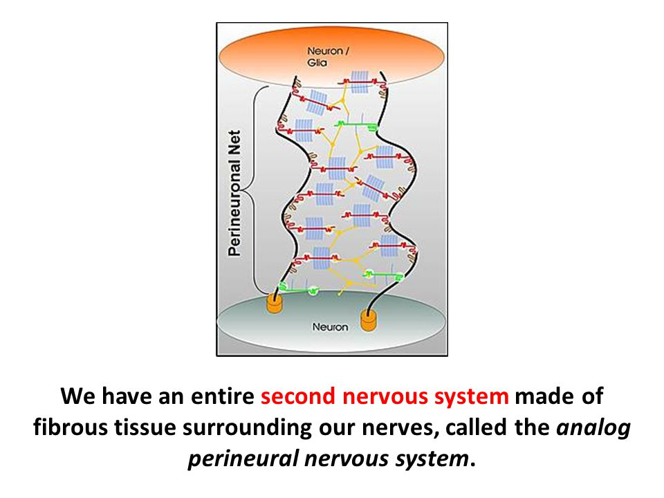 We have an entire second nervous system made of fibrous tissue surrounding our nerves, called the analog perineural nervous system.