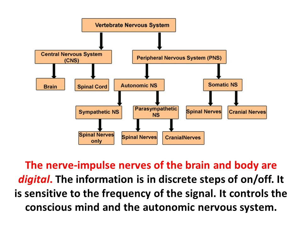 The nerve-impulse nerves of the brain and body are digital
