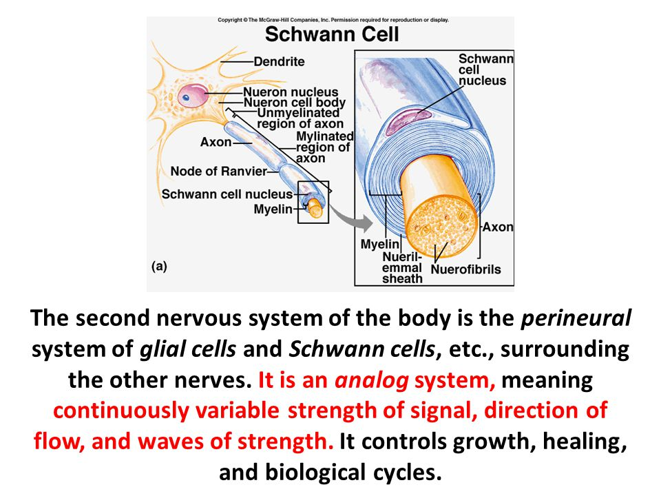 The second nervous system of the body is the perineural system of glial cells and Schwann cells, etc., surrounding the other nerves.