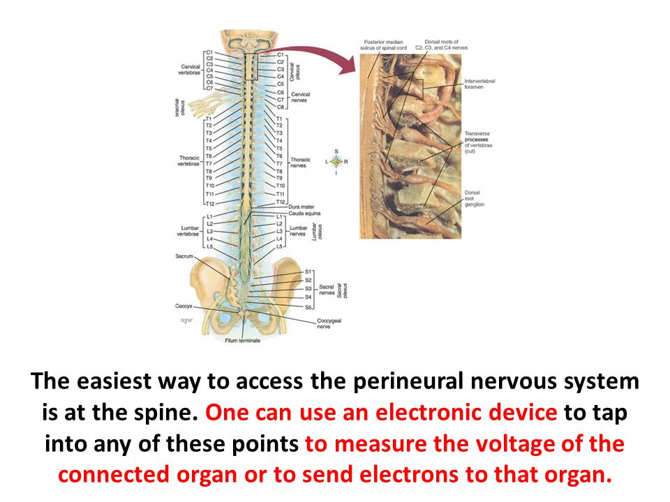 The easiest way to access the perineural nervous system is at the spine.