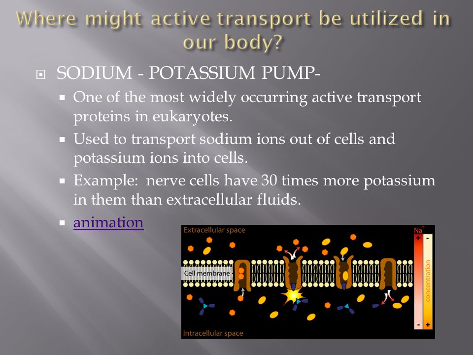 Where might active transport be utilized in our body