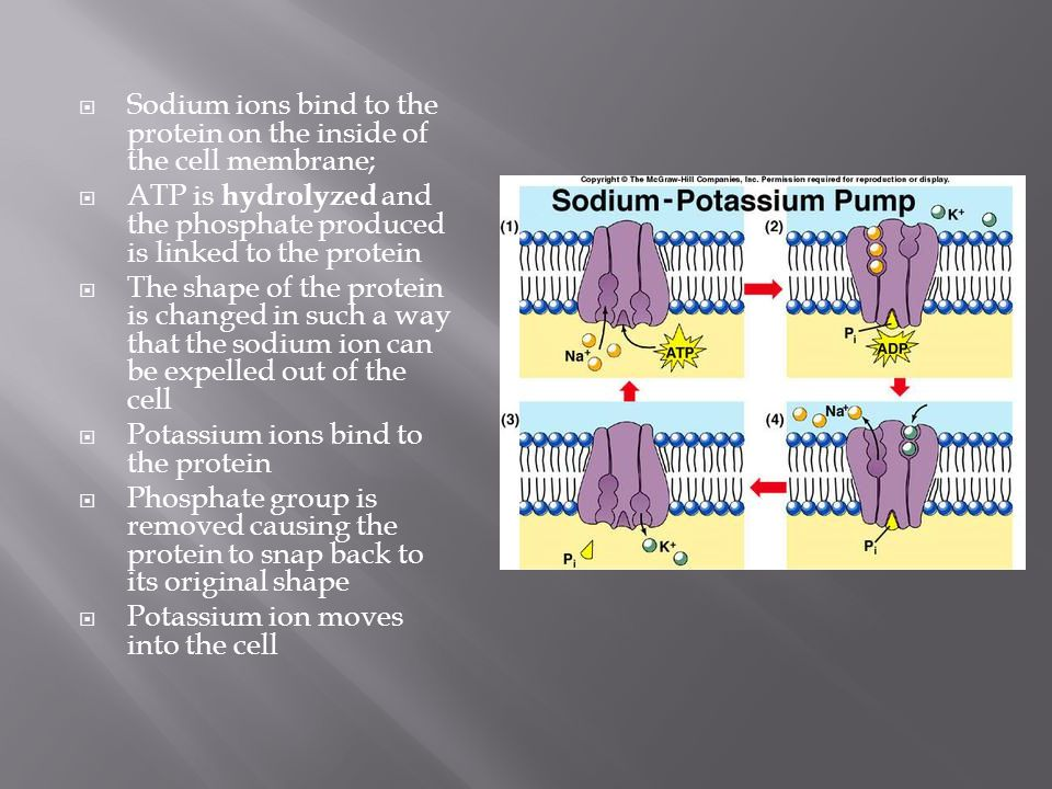 Sodium ions bind to the protein on the inside of the cell membrane;