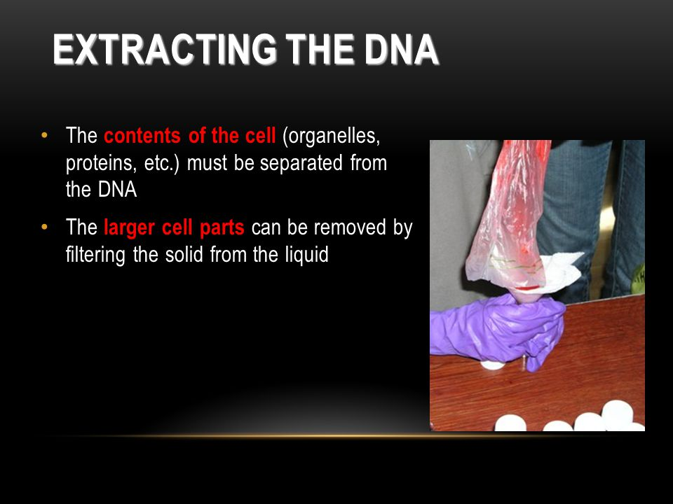 Extracting the DNA The contents of the cell (organelles, proteins, etc.) must be separated from the DNA.