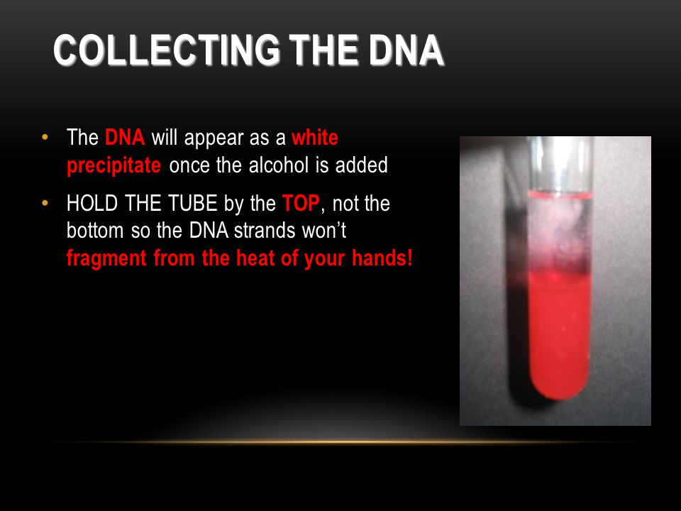 Collecting the DNA The DNA will appear as a white precipitate once the alcohol is added.