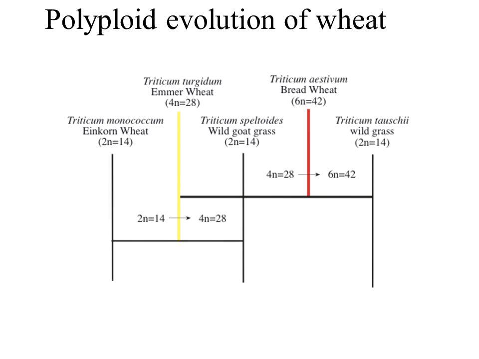 Polyploid evolution of wheat