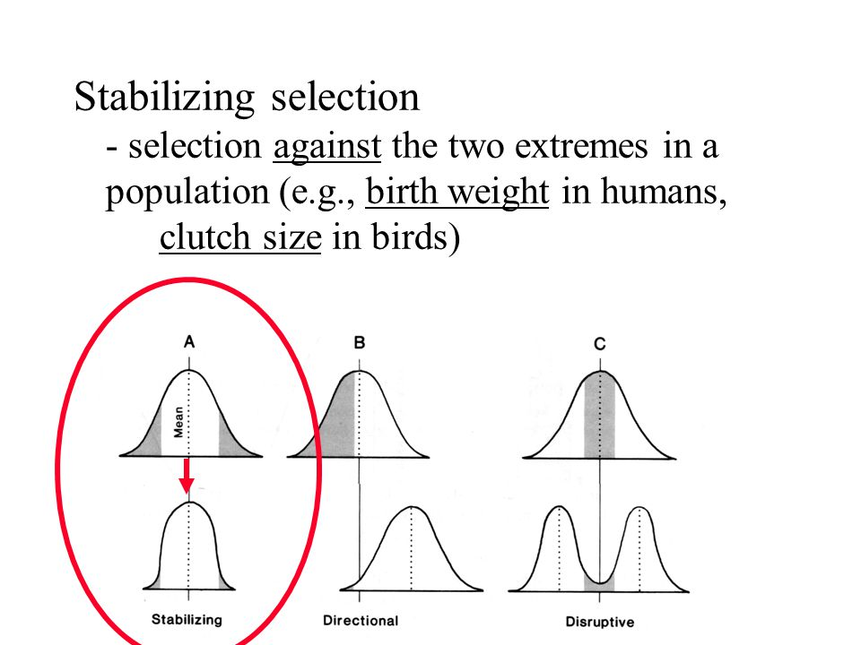 Stabilizing selection - selection against the two extremes in a population (e.g., birth weight in humans, clutch size in birds)