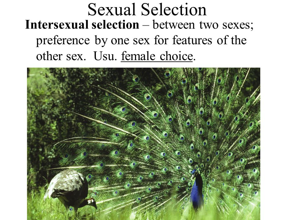 Sexual Selection Intersexual selection – between two sexes; preference by one sex for features of the other sex.