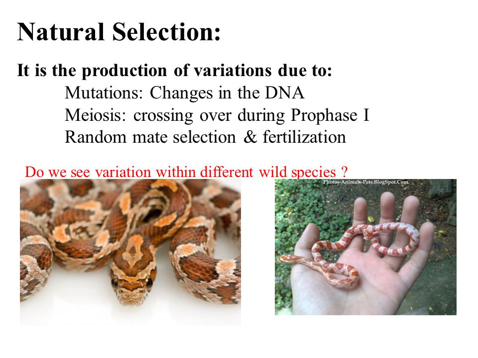 Natural Selection: It is the production of variations due to: