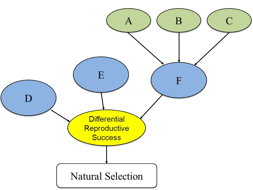 D E Natural Selection F A B C Differential Reproductive Success