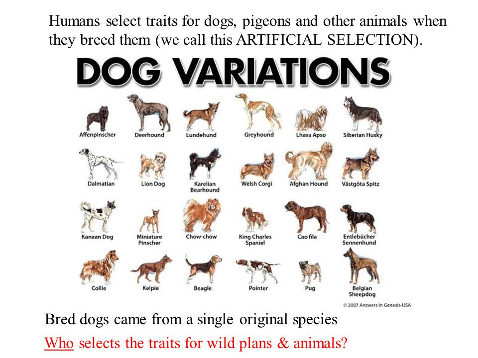 Humans select traits for dogs, pigeons and other animals when they breed them (we call this ARTIFICIAL SELECTION).
