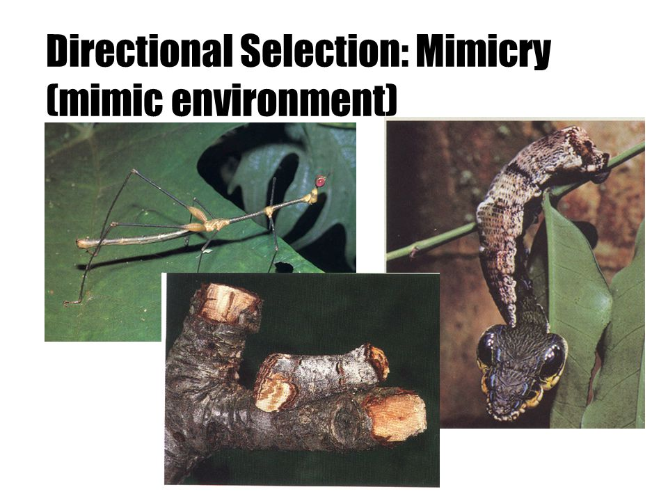 Directional Selection: Mimicry (mimic environment)