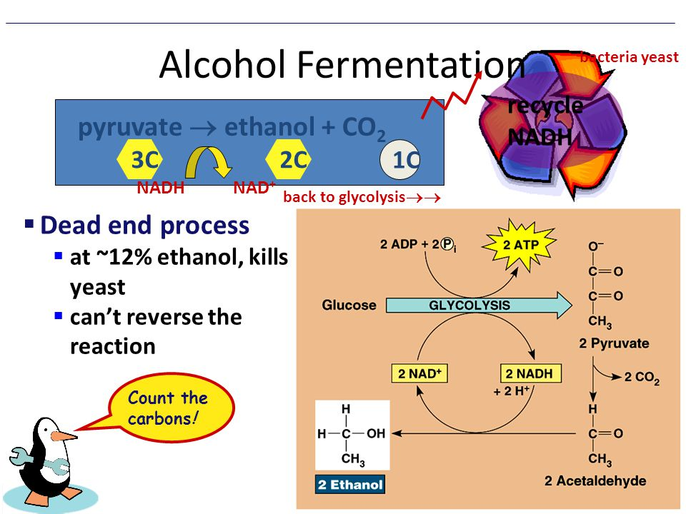 Alcohol Fermentation pyruvate  ethanol + CO2 Dead end process
