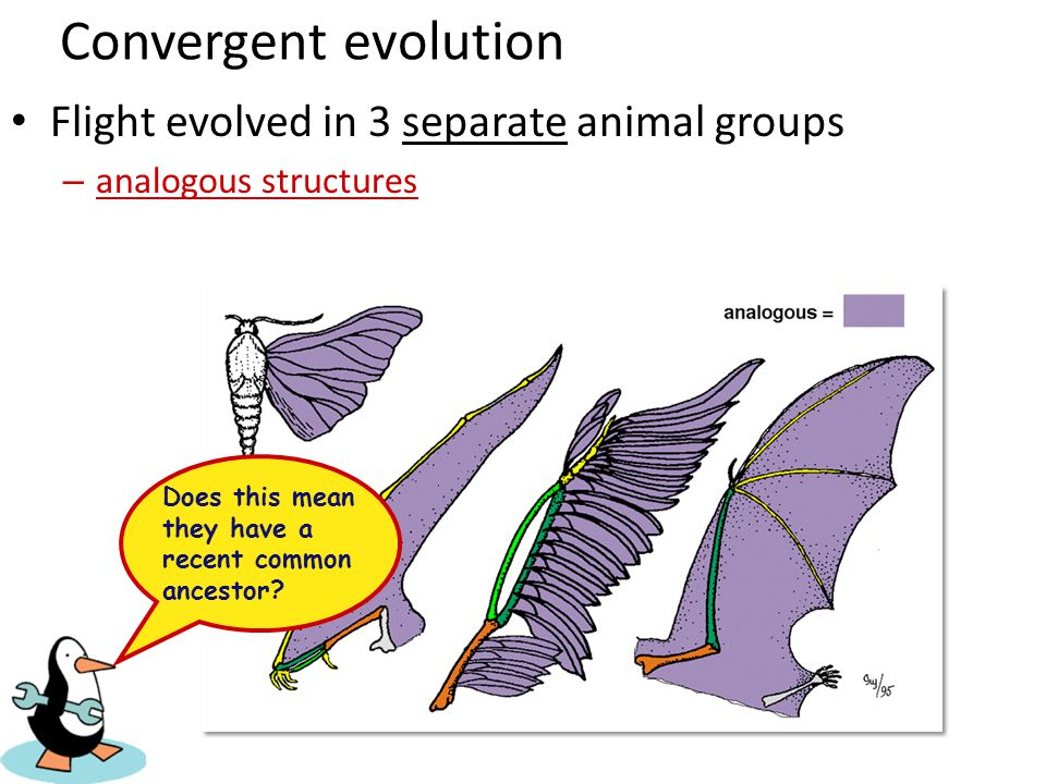 Convergent evolution Flight evolved in 3 separate animal groups