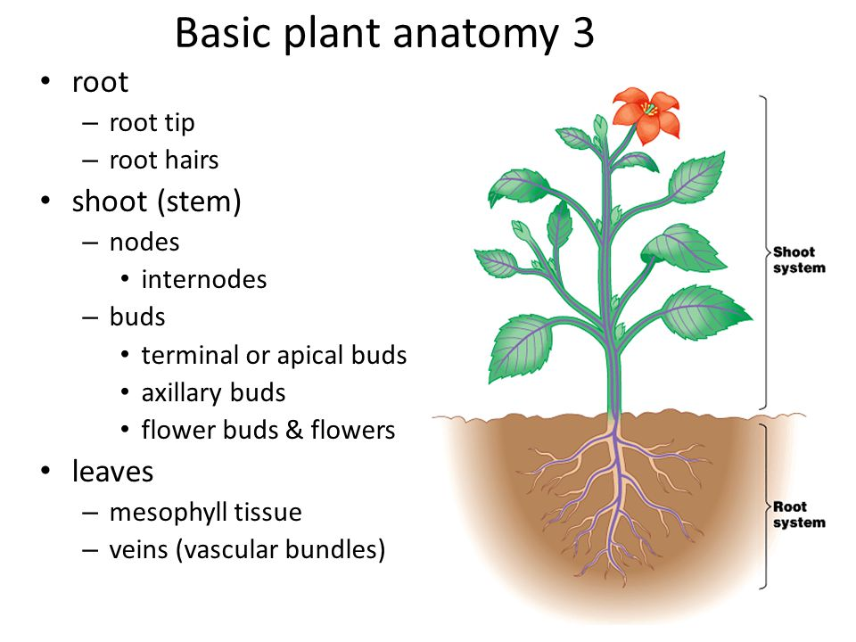 Basic plant anatomy 3 root shoot (stem) leaves root tip root hairs