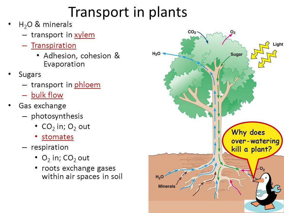 Transport in plants H2O & minerals transport in xylem Transpiration