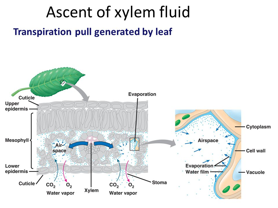 Ascent of xylem fluid Transpiration pull generated by leaf