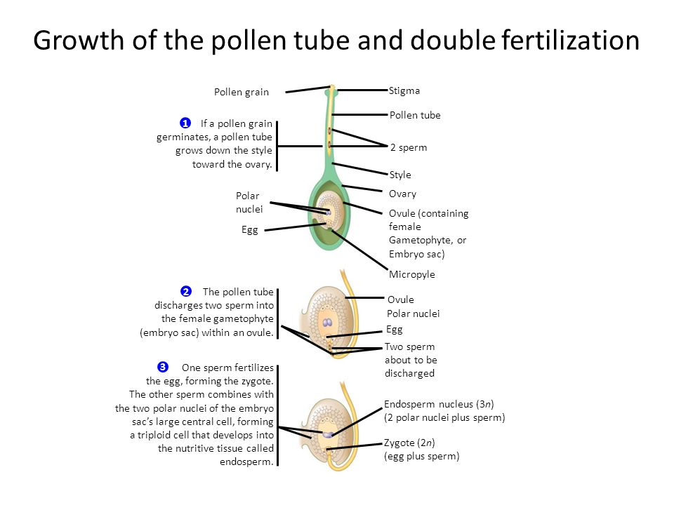 Growth of the pollen tube and double fertilization