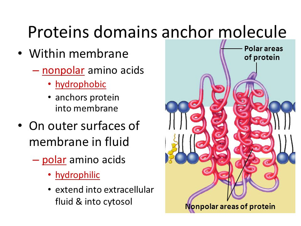 Proteins domains anchor molecule