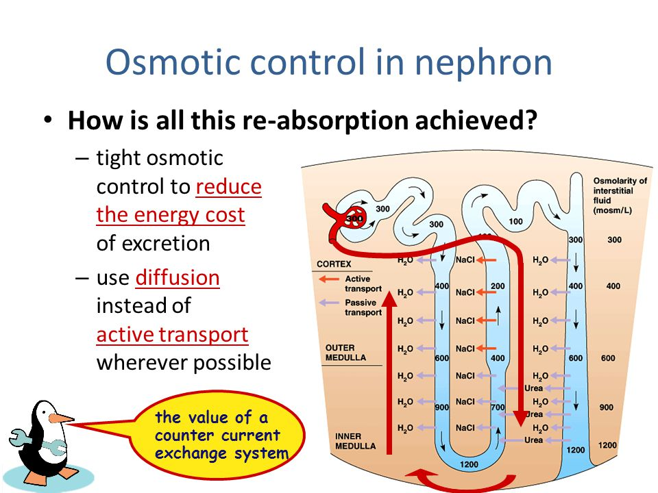 Osmotic control in nephron