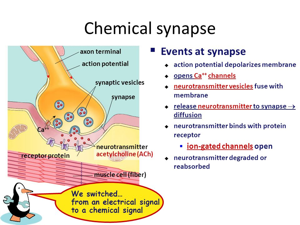 Chemical synapse Events at synapse ion-gated channels open