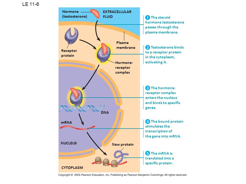 LE 11-6 Hormone EXTRACELLULAR (testosterone) FLUID The steroid