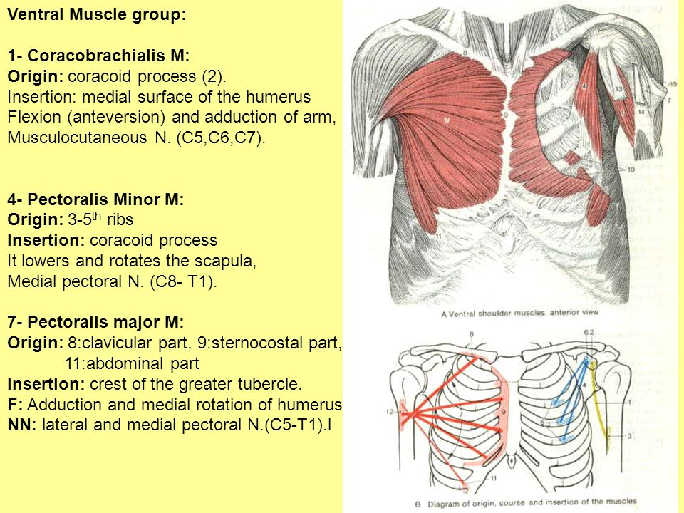 Ventral Muscle group: 1- Coracobrachialis M: Origin: coracoid process (2). Insertion: medial surface of the humerus.