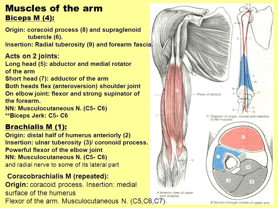 Muscles of the arm Biceps M (4): Acts on 2 joints: Brachialis M (1):