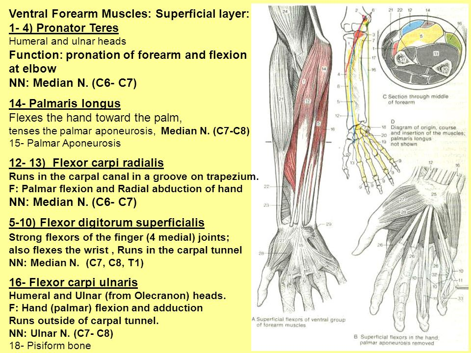 Ventral Forearm Muscles: Superficial layer: 1- 4) Pronator Teres