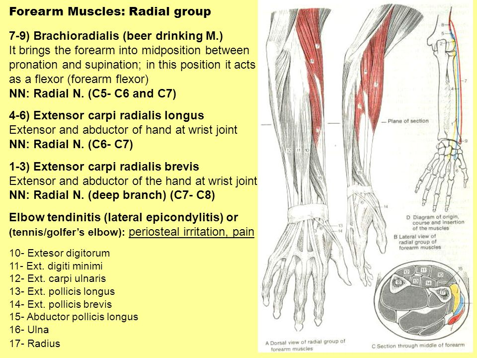Forearm Muscles: Radial group 7-9) Brachioradialis (beer drinking M.)