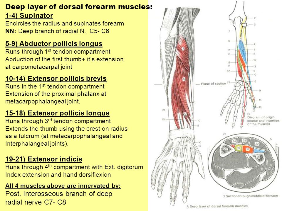 Deep layer of dorsal forearm muscles: 1-4) Supinator