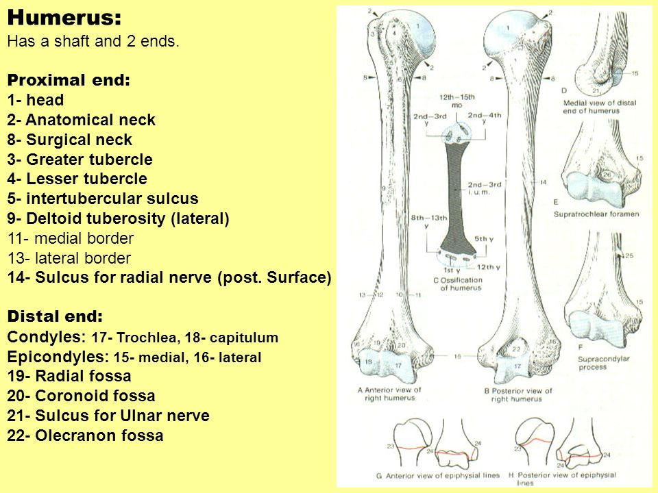 Humerus: Has a shaft and 2 ends. Proximal end: 1- head